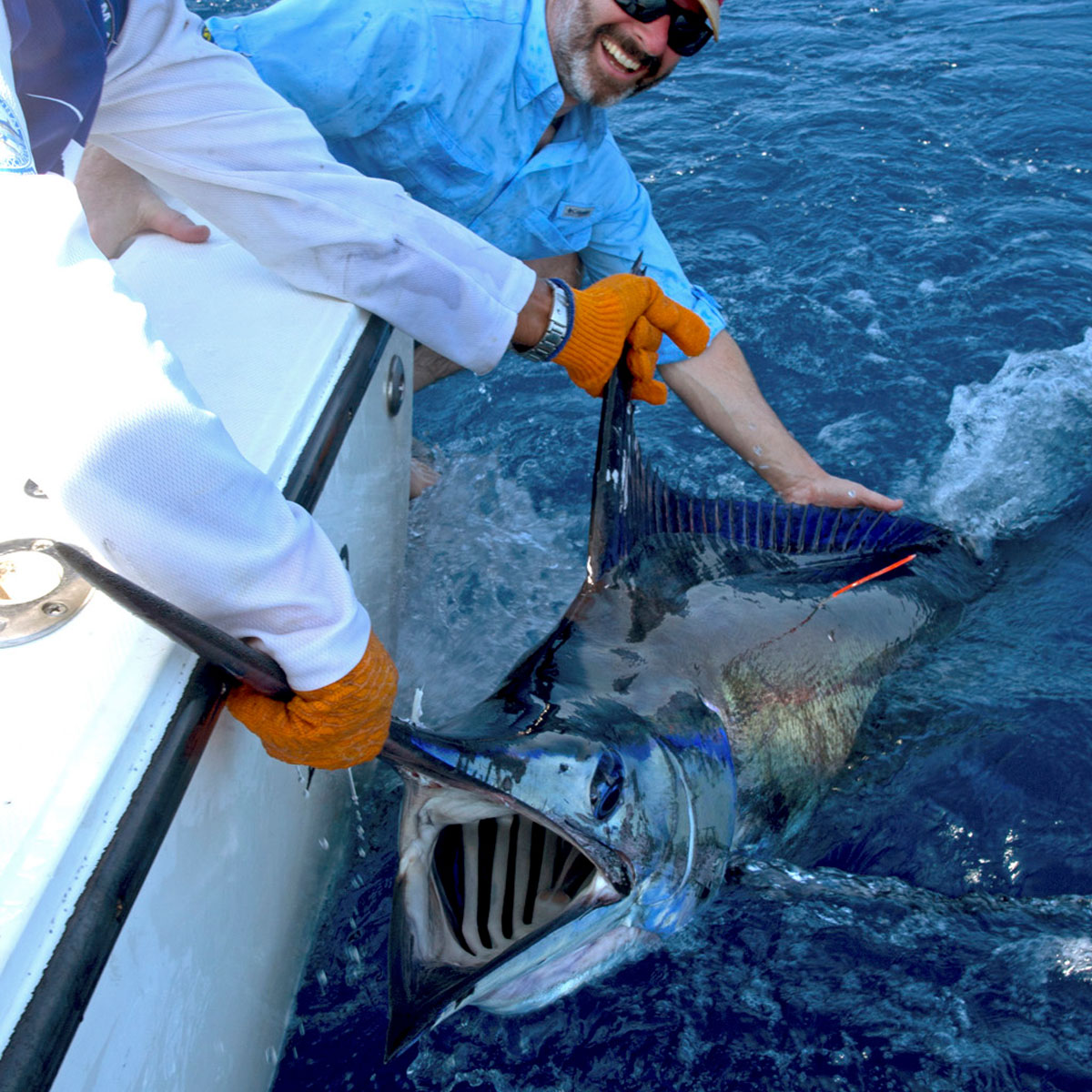 Blue Marlin caught and releaaed.