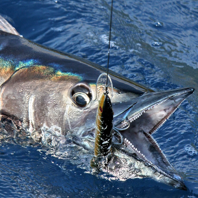 Wahoo with a lure.