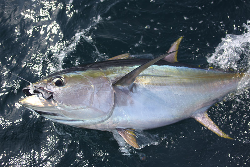 Yellowfin Tuna catch in Panama